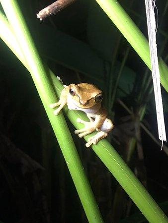 Κόλπος Drake, Κόστα Ρίκα: Masked tree frog