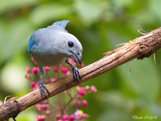 La Virgen, Κόστα Ρίκα: A Blue gray Tanager saying Good morning.