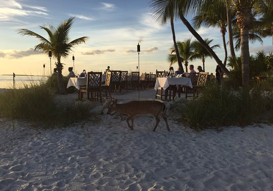 Little Palm Island Resort & Spa, A Noble House Resort: One of several Key Deer that visit the island