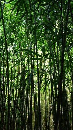 Haiku, HI: Bamboo forest