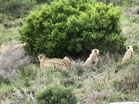 Shamwari Game Reserve Lodges: Cheetah cubs at play
