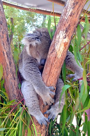 Healesville, Австралия: Close encounter with a koala