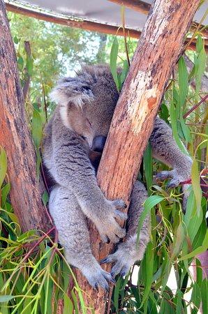 Healesville, Australia: Close encounter with a koala