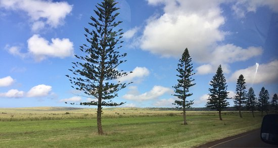 Lanai City, Hawái: Cooke pine trees line every road