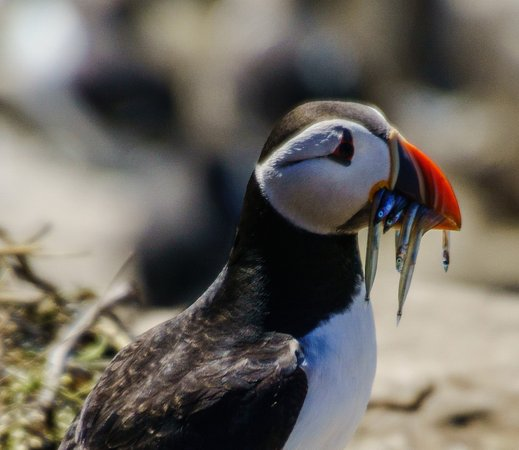 Northumberland, UK: The typical Puffin pose