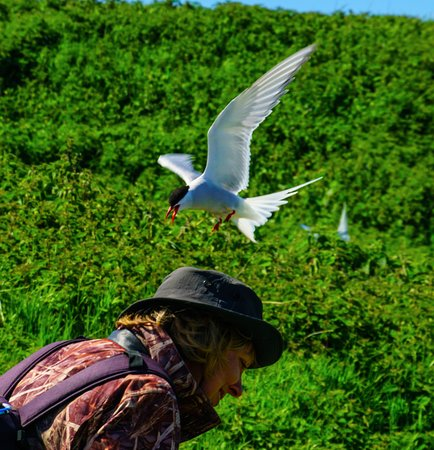 Northumberland, UK: Watch out for Terns