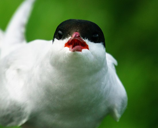 Northumberland, UK: A tern giving me a piece of its mind .. !
