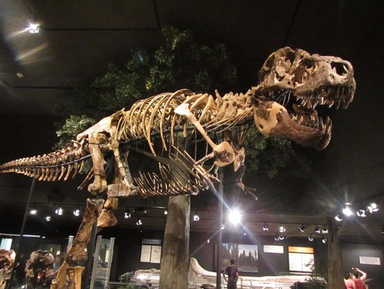 Bozeman, MT : T-Rex at the Museum of the Rockies.