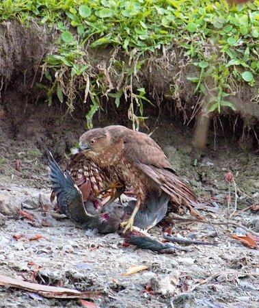 Copeland, FL: Hawk took out a heron