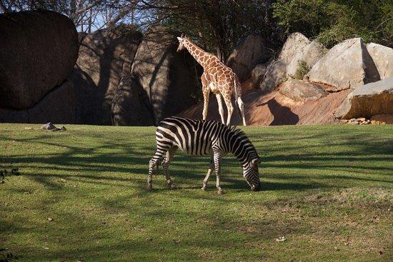 Asheboro, NC: zebras, giraffes