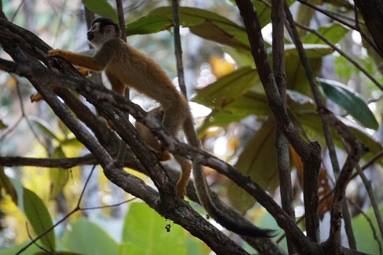Tiskita Jungle Lodge: Squirrel monkey going past our cabin