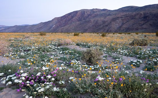Borrego springs desert flowers picture of anza borrego desert anza borrego desert state park borrego springs desert flowers mightylinksfo