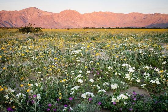 Sunrise with a view of the desert carpeted in spring flowers anza borrego desert state park sunrise with a view of the desert carpeted in mightylinksfo