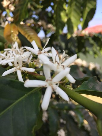 Kealakekua, HI: Coffee tree flowers