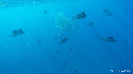 Squalo Adventures PADI Dive Resort #22312: sailfish and baitball