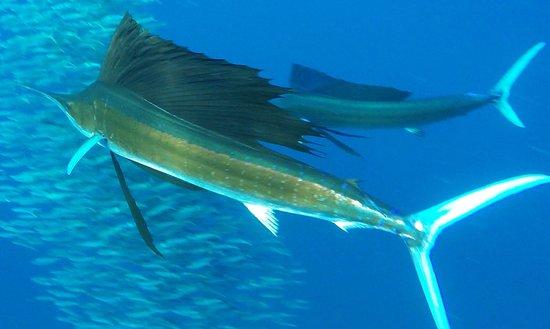 Squalo Adventures PADI Dive Resort #22312: sailfish