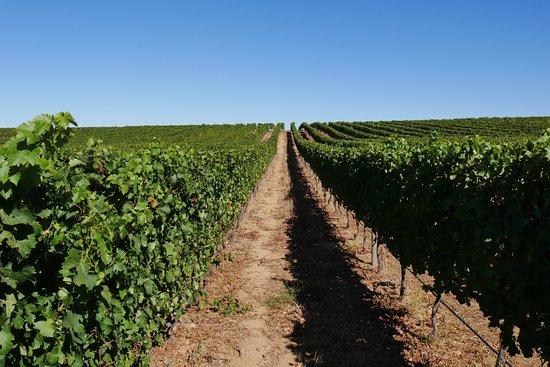 Constantia, Sudáfrica: 整然と拡がるブドウ畑