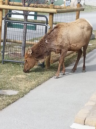 การ์ดิเนอร์, มอนแทนา: elk