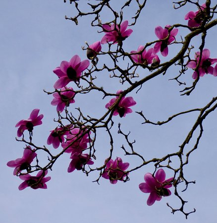 Haywards Heath, UK: magnolia