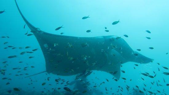 Euro-Divers Vilamendhoo: Raie Manta