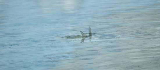 North Caicos: Tailing bonefish