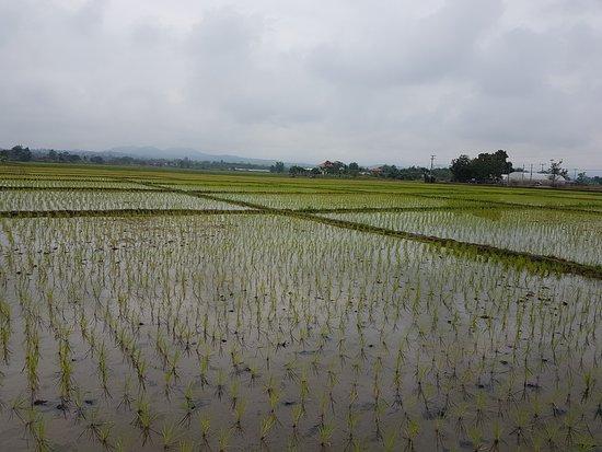 Chiang Mai Bicycle : Rice Paddies