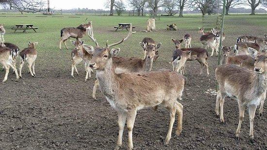 Spennymoor, UK: Whitworth hall deer park