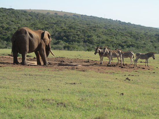 Addo Elephant National Park, Sydafrika: First come, first served