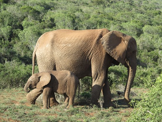 Addo Elephant National Park, Sydafrika: Mother and young