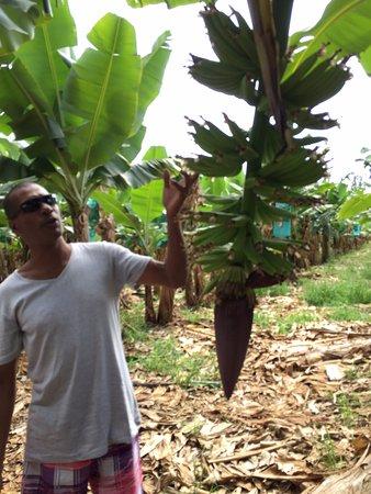 Saint Francois, Guadeloupe: Bananeraie avec Francky