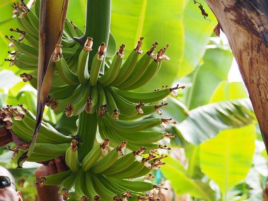 Saint François, Guadalupe: Bananeraie