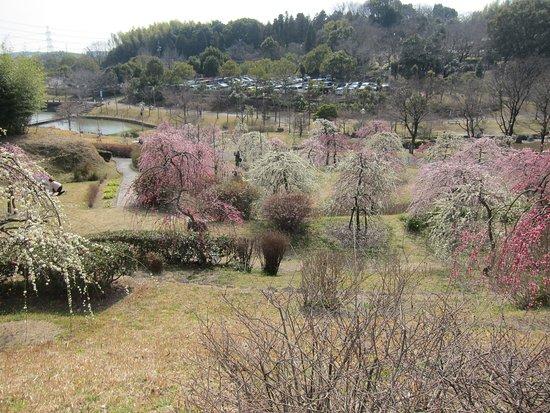 Higashiura-cho, Japan: 梅園風景