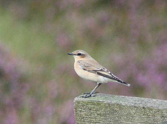 Bathgate, UK: Wheatear-Blawhorn nature reserve