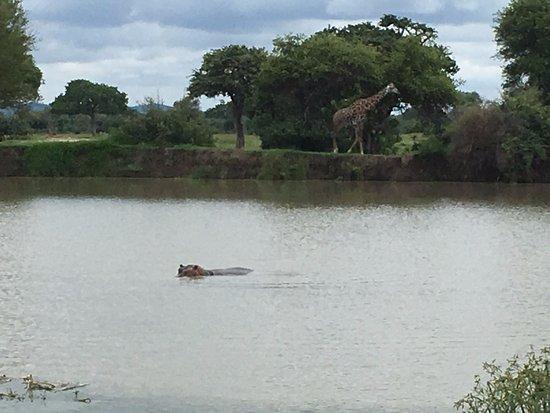 Morogoro, Tanzania: Hippo and Giraffe