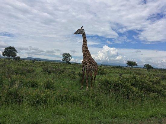 Morogoro, Tanzania: Giraffe