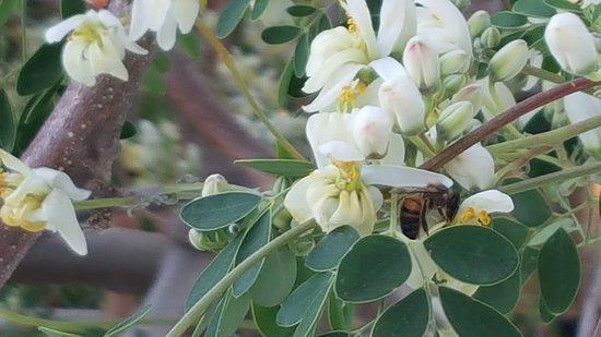 Guimar, Spanje: Moringa Blüten