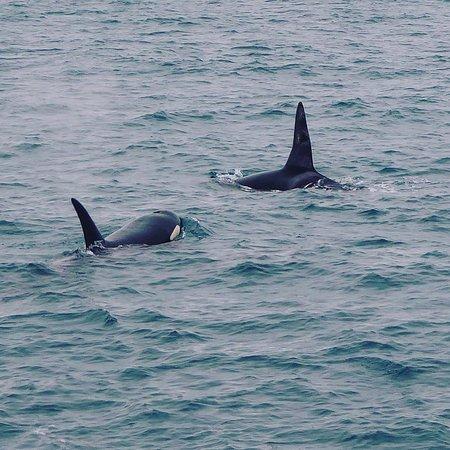 Grundarfjorour, Iceland: A male and female killer whale
