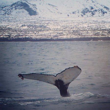 Grundarfjorour, Iceland: Fluke of Humpback whale