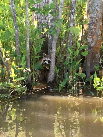 Slidell, LA: 1 of 3 racoons