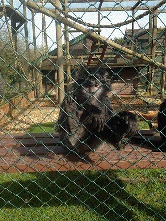 Newport, UK: Javan Langur named Tonka, nicknamed Abraham Lincoln!