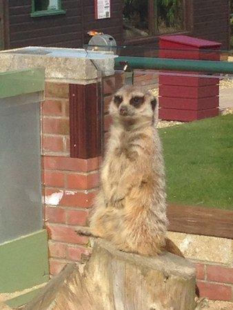 Newport, UK: Meerkats - simples!