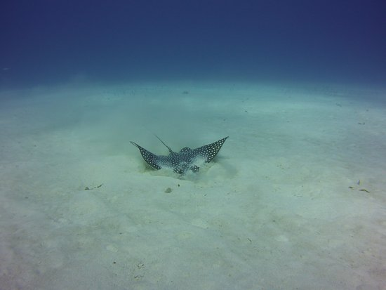Southern Cross Club: Eagle ray feeding in sand