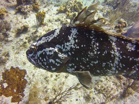 Southern Cross Club: Up close and personal with a grouper