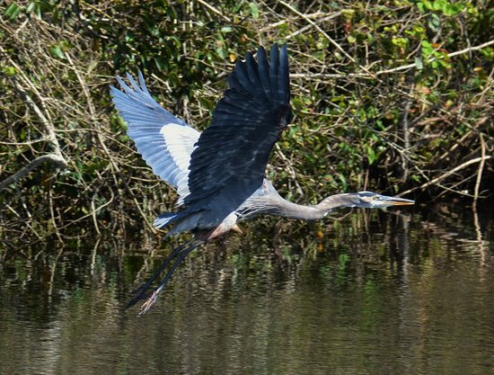 Port Saint Lucie, FL: Great Blue Heron