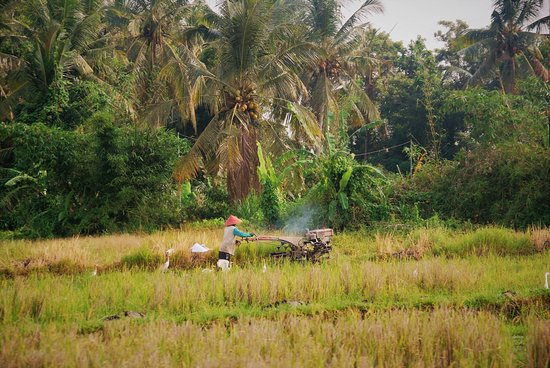 Lovina Beach, อินโดนีเซีย: rice fields