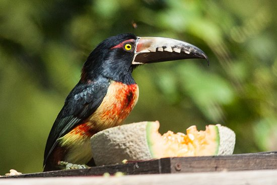 Crystal Paradise Resort: Collared Aracari, attracted to the fruit on the deck.