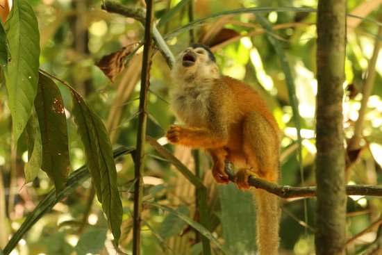 Puerto Jimenez, Costa Rica: Singe araignée