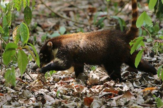 Puerto Jimenez, Costa Rica: Coati