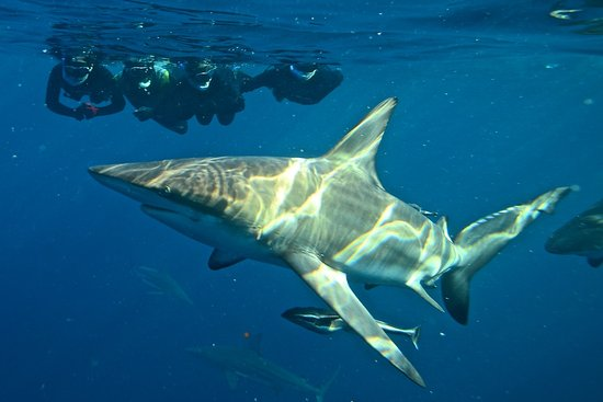 Shark Cage Diving KZN: IMG-20170318-WA0035_large.jpg