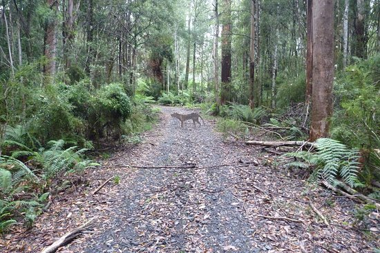 Maydena, Australië: Early misty morning near Styx river and catch a lucky shot of wild dog.